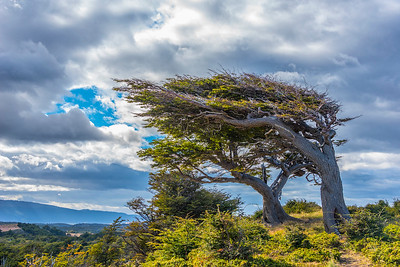 Haberton Ranch_Windblown Tree
