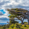 Haberton Ranch_Windblown Tree
