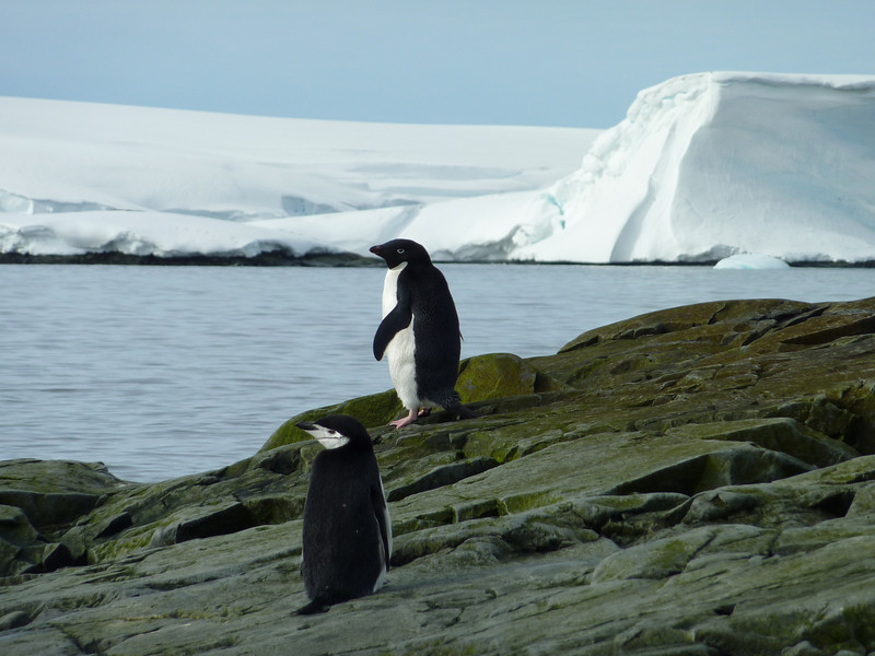 Our first Adelie penguin and a Chinstrap penguin
