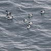 Flock of Cape Petrels that hung around the ship while we were on our zodiac cruises