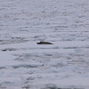 Seal on the ice