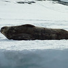 A Weddell seal checking us out, not too worried