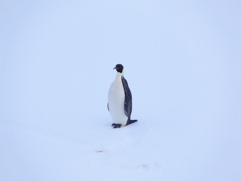 An Emperor penguin on the Peninsula is a rare sight