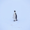 An Emperor penguin on the Peninsula is a rare sight