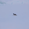 Adelie penguin running from the great big boat