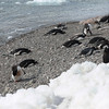 Penguins taking a break on the beach before the trek to the nesting site