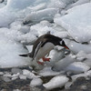 Penguin trying to get back to the beach over the floating ice.