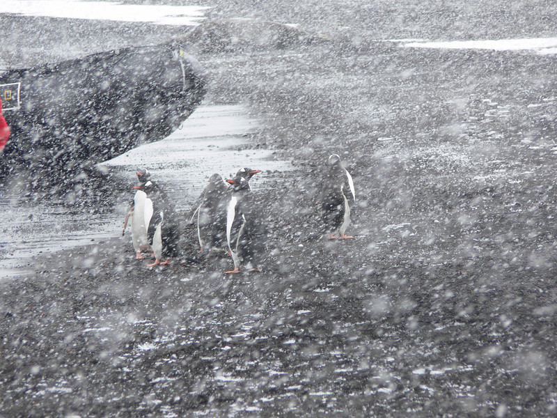 Gentoos in the snow