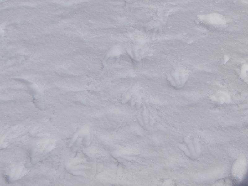 Penguin tracks