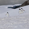 Penguins headed home after a bath and a meal
