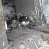 Gentoo nest