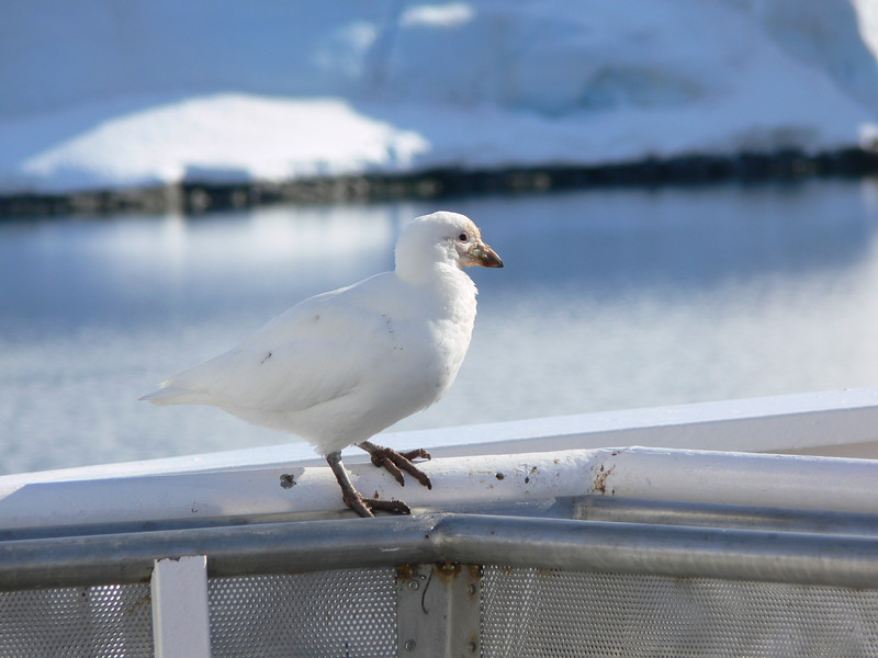 This Snowy Sheathbill came to visit me on the bow of the ship.