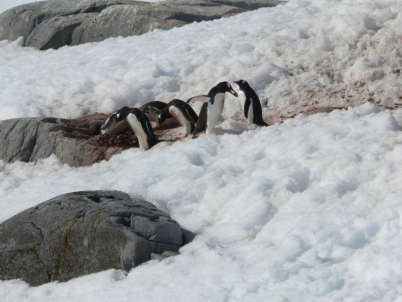 Poor penguins' mate was gone and it had no help protecting its nest