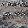 A rock in the Beagle Channel with alot of Imperial Cormorants