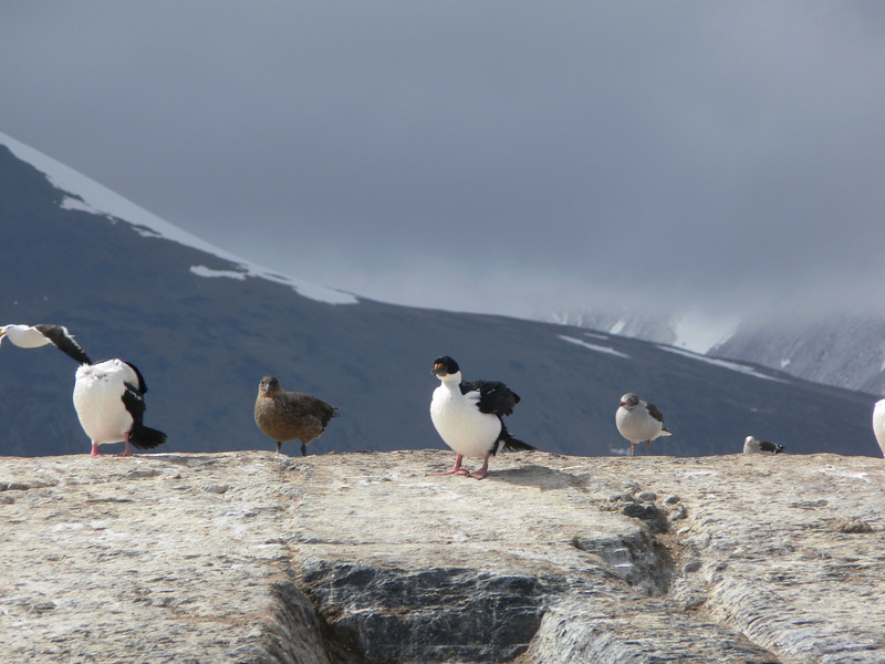 Inperial Cormorants and our first Skua