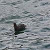 Juvenile Antarctic Giant Petrel