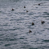A small flock of juvenile Antarctic Giant Petrels