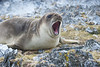 Weddell Seal.  Not too happy from all the fuss.