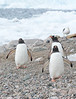 Gentoo Penguins and Kelp Gull