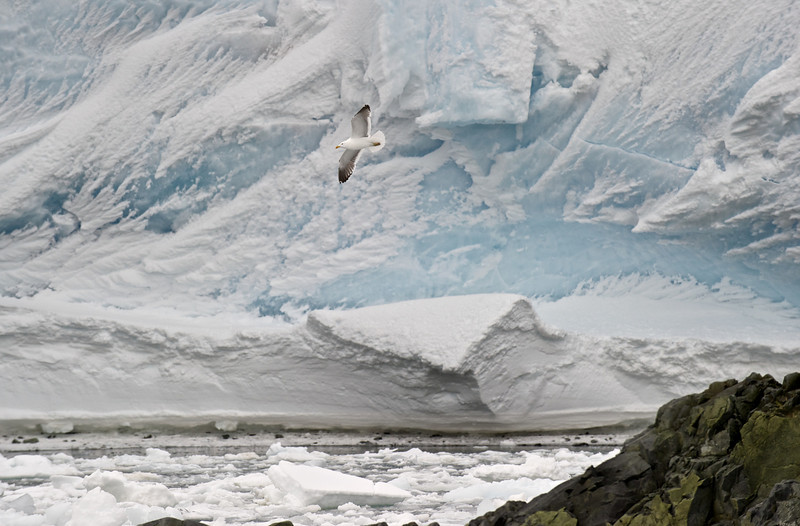 Kelp Gull and Glacier