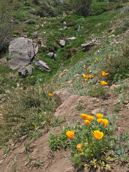 Poppies near Santiago, Chile