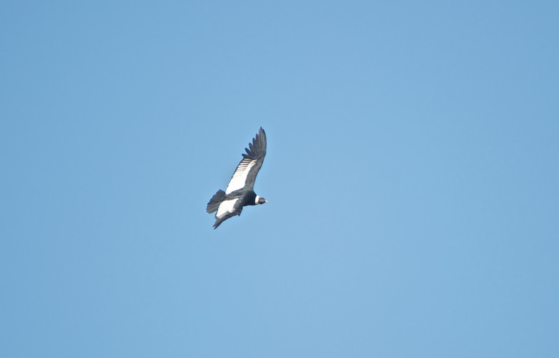 Male Andean Condor (from perhaps 1/4 mile away).