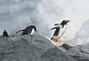 Gentoo Penguins gathering pebbles for nests
