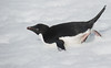 Adelie Penguin scooting on her belly