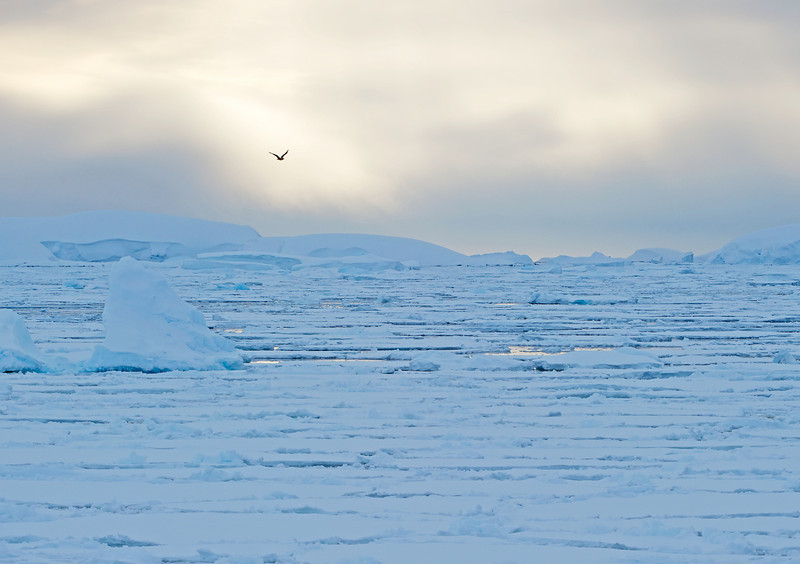 Kelp gull over pack ice near midnight in the Lemaire Channel