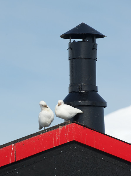 Sheathbills at Port Lockroy