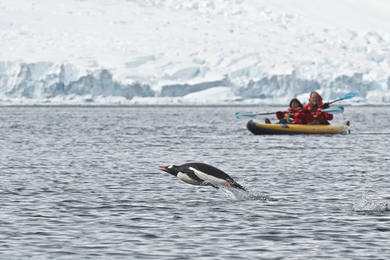Gentoo Penguin and Kayakers
