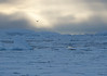 Pack Ice and Kelp Gull, Gerlache Strait