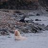 Leuckystic fur seal