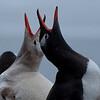 Leukistic gentoo penguin