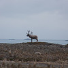 Reindeer, brought here by whalers