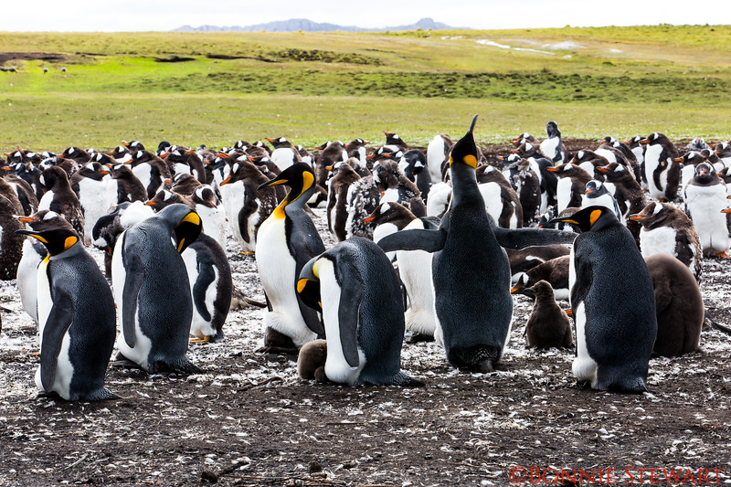 More King Penguins at Bluff Cove with little babies.