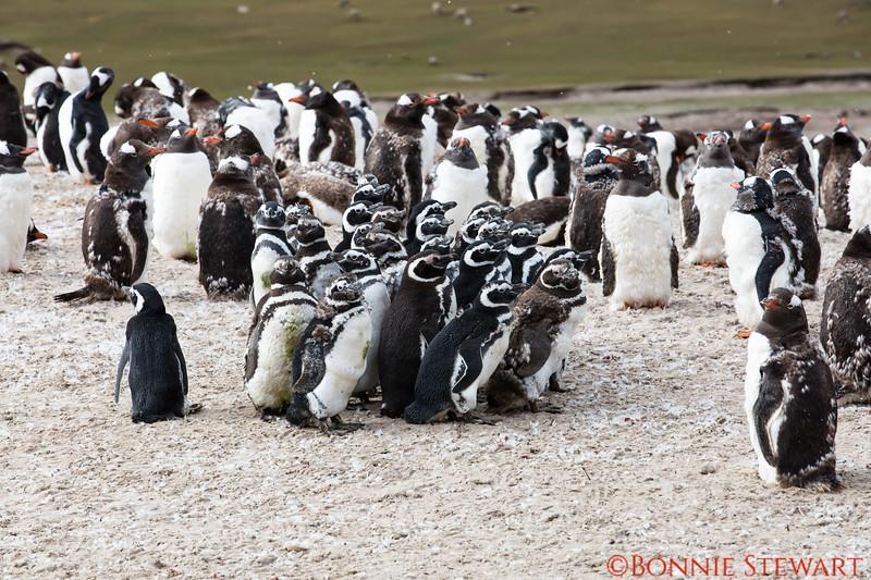 Magellanic Penguin Colony inside a Gentoo Penguin Colony