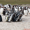 Magellanic Penguin Colony inside a Gentoo Penguin Colony