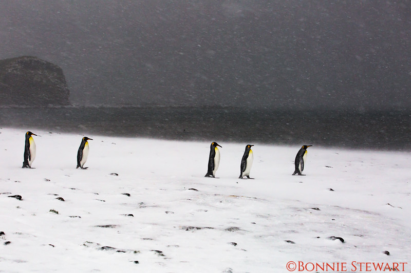 The weather worsens and snow continues to fall.  The gale force winds are brutal.   A group of penguins walk together.