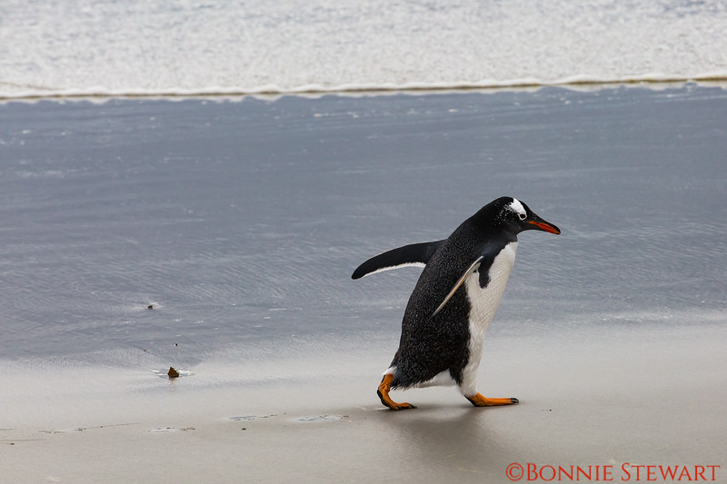 Gentoo Penguin taking a walk along the beach leaving penguin footsteps in the sand!