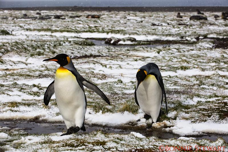 King Penguins walking through the mud