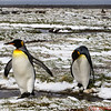 King Penguins walking through the mud