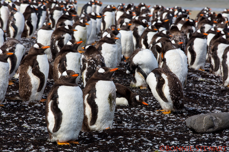 More Gentoo Penguins at Bluff Cove