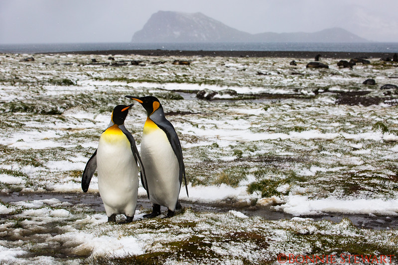 King Penguins share a moment