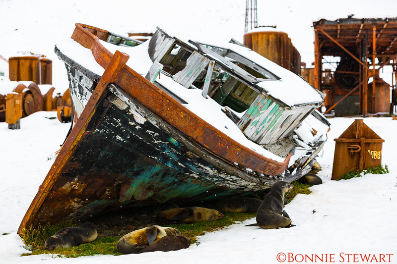 relics of the former whaling town of Grytviken.   Shackleton spent a month  in 1914 in this town before sailing the endurance for his planned Trans-Antarctica Expedition.  The ship was crushed in the Weddell Sea.   He and five men spent 18 months getting back to South Georgia to seek rescue for the rest of his 21 men stranded on Elephant Island.  The town was abandoned in 1965.