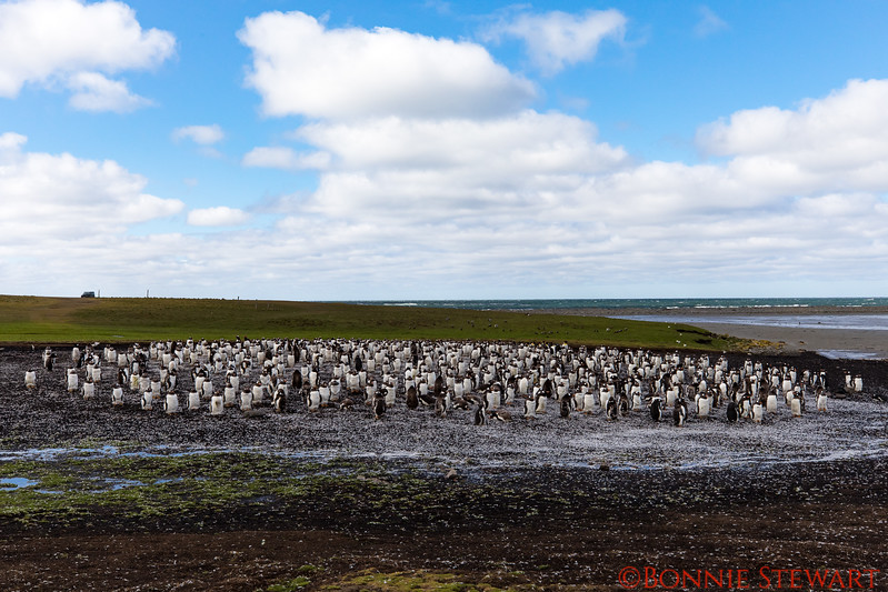 View of the Gentoo Penguin colony from their front-sides