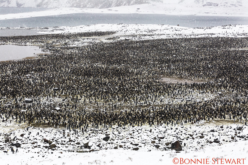The main colony of King Penguins estimated to be about 200,000 pairs or 400,000 penguins.  There were several estimates so I am not sure the exact number of penguins.  It was windy and snowy and  a long walk to the hill top overlooking the thousands of penguins below.    The walk was worth it!