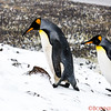 Mom and Dad penguins walk to a little higher landing.   Junior is scrambling behind (next photo)