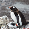 Mother Gentoo and her baby