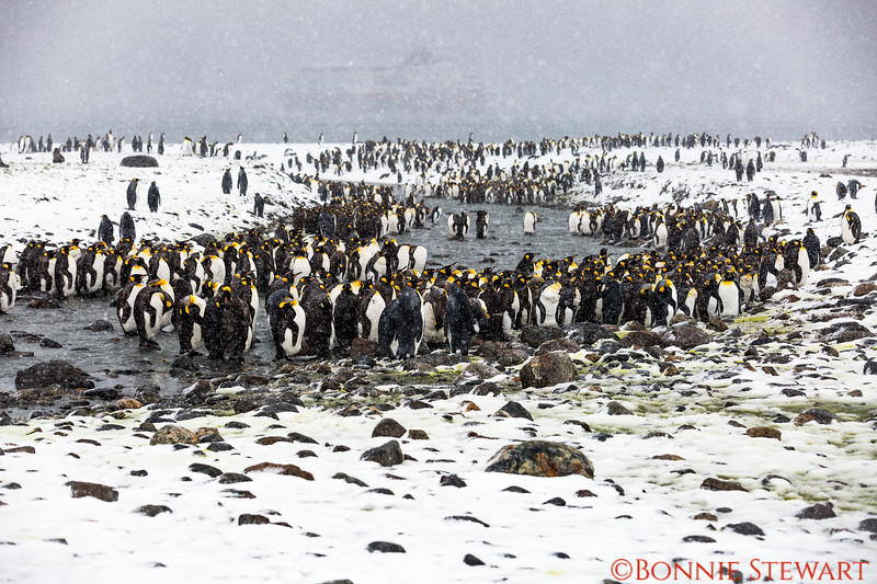 A group of King Penguins gathering together as the weather continues to worsen.